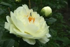 LemonChiffon20110619