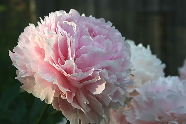 'Sarah Bernhardt'